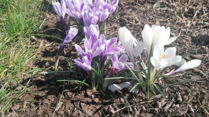 Fioletowe i białe krokusy.