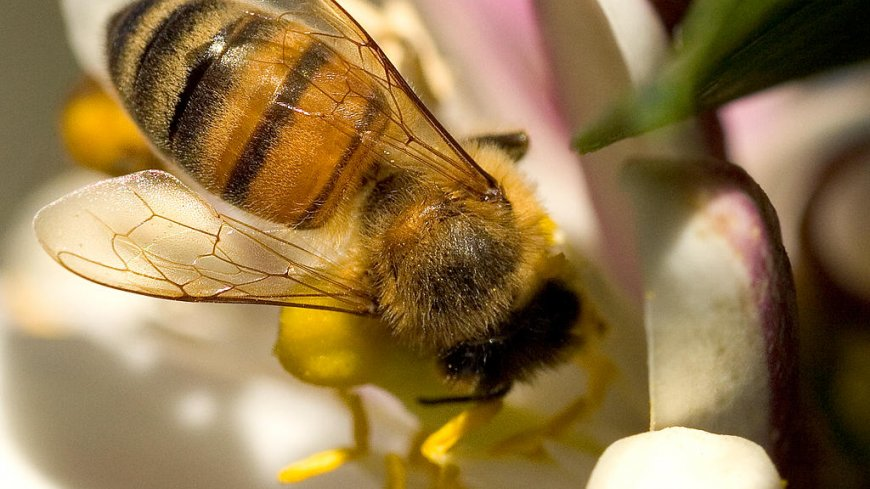 Na zdjęciu pszczoła robotnica na kwiecie pobierająca nektar